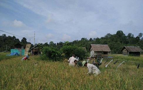 Babinsa Koramil 03 Teupah Selatan Semangat Panen Padi Bersama Petani