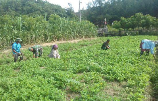 Hambat Pertumbuhan Kacang Tanah, Babinsa Darul Hikmah Bantu Petani Bersihkan Rumput