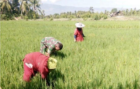 Giat Upsus Babinsa, Bantu Petani Padi Warga Desa Binaannya Bersihkan Sawahnya