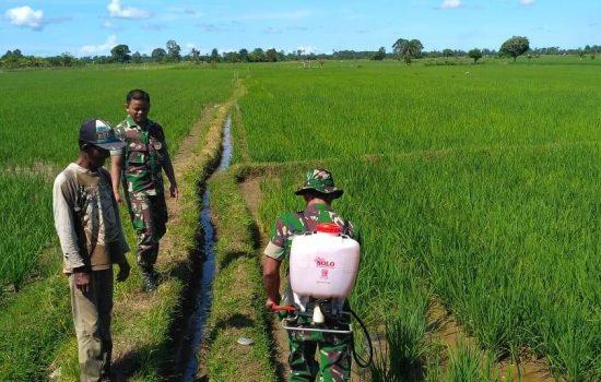 Optimalkan Dukungan Ketahanan Pangan, Babinsa Koramil 07/BBR Bantu Kerja Petani