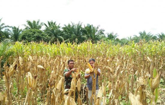 Danposramil Pasie Raya Pantau Pertumbuhan Kebun Jagung Warga