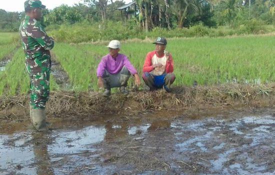 Musim Hujan, Babinsa dan Petani Sepakat Percepat Musim Tanam Padi