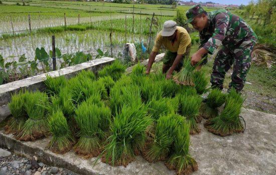 Babinsa Kuala Bantu Petani Siapkan Benih Padi