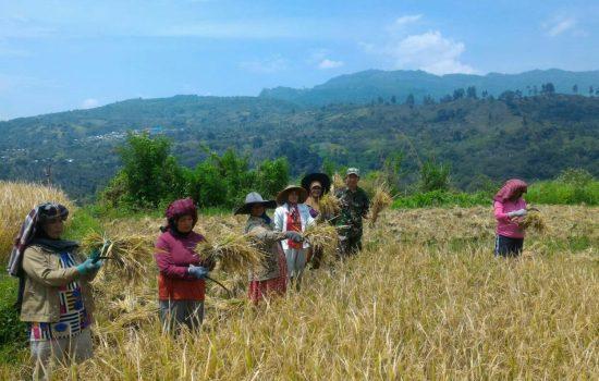 Kebersamaan TNI Dengan Petani Dalam Panen Padi