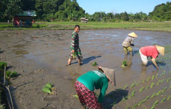 Sukseskan Swasembada Pangan, Sertu Sugeng Bantu Tanam Padi
