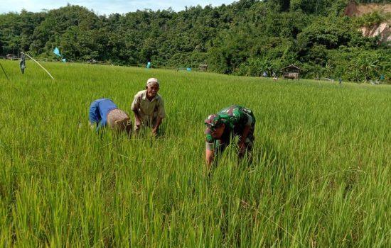 Sertu Parwoto Bantu Kakek Wirsat Bersihkan Rumput Padi