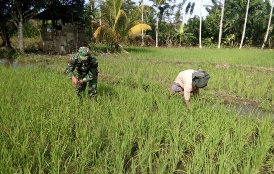 Babinsa Bantu Petani Bersihkan Rumput