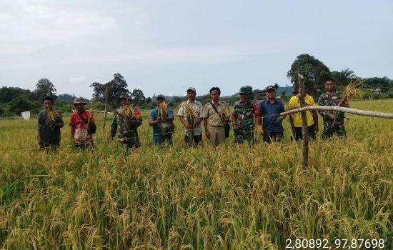 Babinsa Dampingi Petani Panen Padi di Desa Bawan