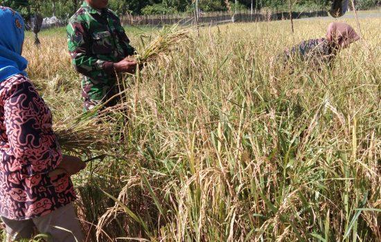 Serka Wahirul Bantu Petani Panen Padi