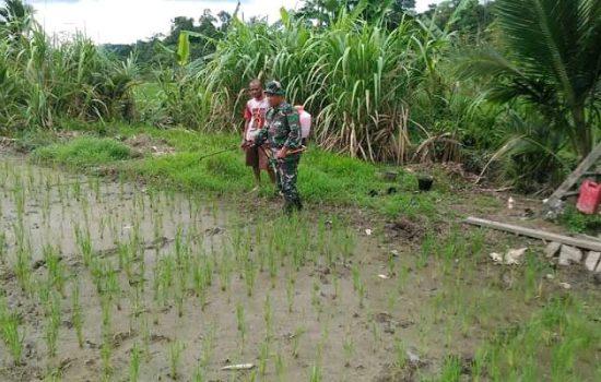 Kopda Johansyah Bantu Petani Basmi Hama Keong Mas
