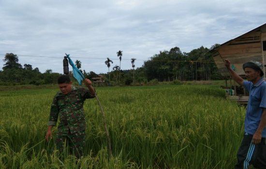 Babinsa Koramil Calang Bantu Petani Usir Hama Burung