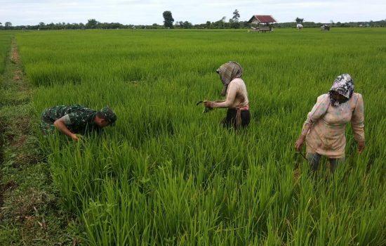 Sertu Vien Bantu Mak Halimah Bersihkan Rumput Padi