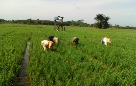 Turun ke Sawah Babinsa Bantu Mak Radian Bersihkan Rumput Padi
