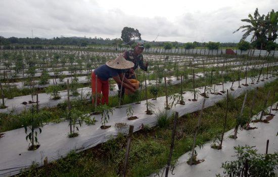 Babinsa Darul Hikmah Bantu Petani Panen Cabai