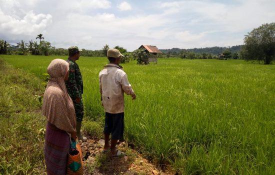 Kopda Syamsuar Pantau Pertumbuhan Tanaman Padi Petani
