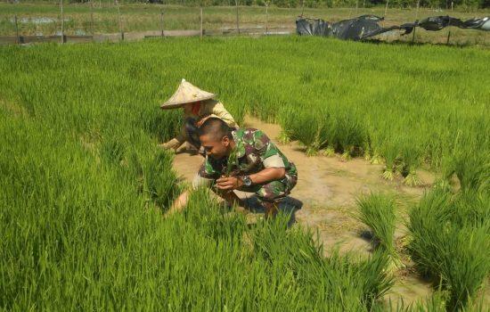 Babinsa Indra Jaya Bantu Petani Siapkan Bibit Padi
