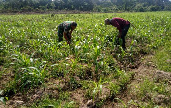 Serda Budi Bantu Petani Bersihkan Gulma