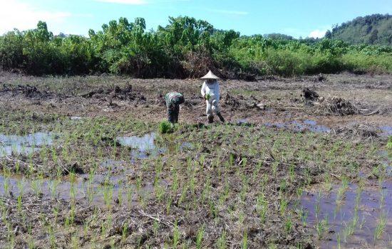 Sukseskan Swasembada Pangan, Serda Paisal Bantu Petani Tanam Padi