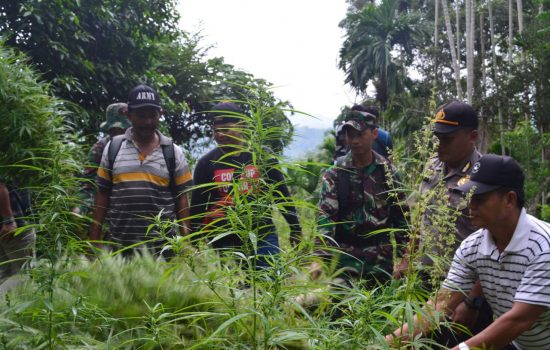 TNI – Polri Musnahkan Ladang Ganja di Sawang