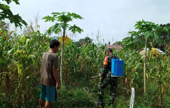 Berantas Gulma, Babinsa Poskoramil Bantu Petani Semprot Hama Pada Tanaman Jagung