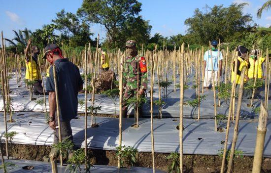 Koramil 02/Simteng Bersama Koordinator PPL Pertanian Mengecek Tanaman Kebun Petani