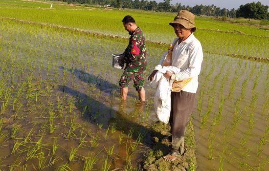 Tingkatkan Hasil Panen, Babinsa Bantu Petani Memupuk Tanaman Padi