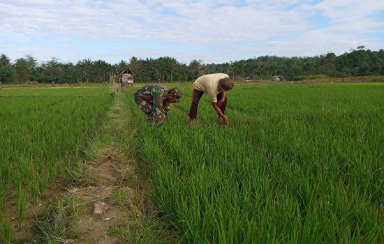Babinsa Darul Hikmah Bantu Petani Bersihkan Hama Rumput