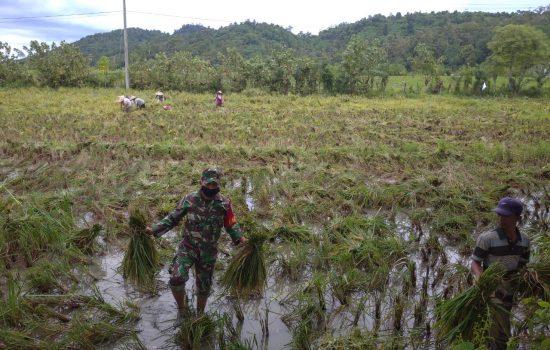 Babinsa Lamno Bantu Petani Angkut Hasil Panen Padi