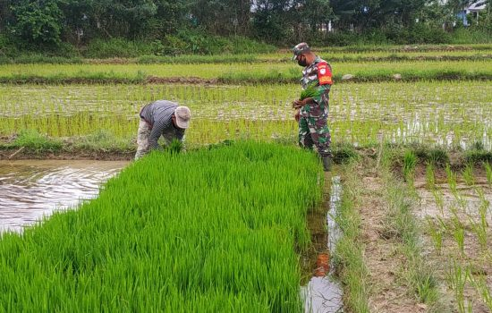 Babinsa Darul Hikmah Bantu Petani Siapkan Bibit Padi