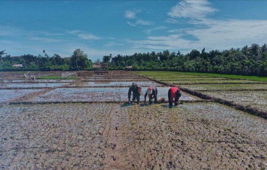 Sebagai Ujung Tombak Teritorial, Babinsa Koramil 03/Teupah Selatan Bantu Petani Tanan Padi