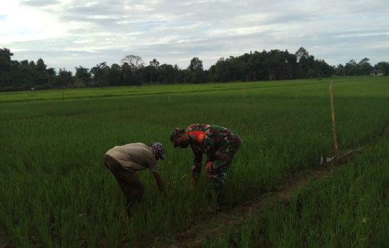 Bersama Petani Dan Babinsa Cek Pertumbuhan Padi
