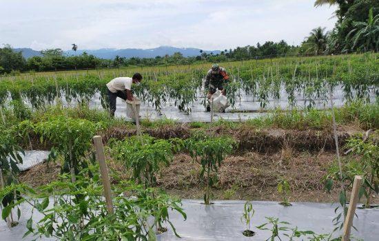 Babinsa Koramil 05/Beutong Bersama Petani Cabe Lakukan Pendampingan Pertanian