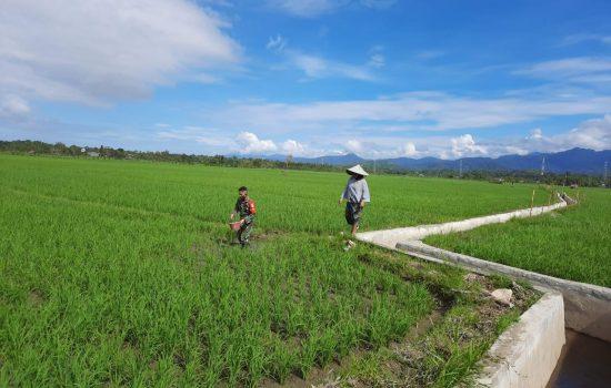 Upaya Meningkatkan Hasil Panen Yang Maksimal, Babinsa 10/Labar Bantu Petani Pemupukan Padi
