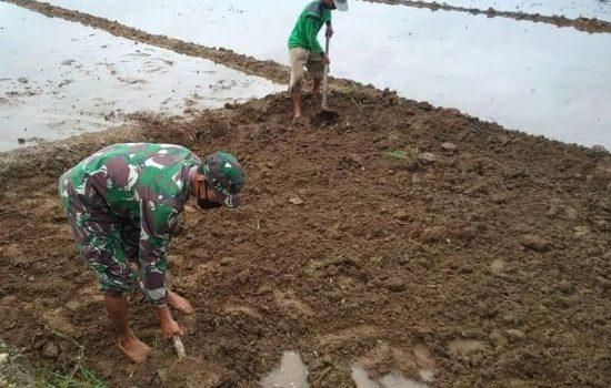 Tanam Padi Perdana Babinsa Bantu Petani Siapkan Lahan Pembibitan