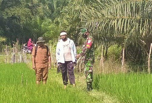 Hasil Pertanian Menurun, Babinsa Seunagan Timur dan PPL Turun Ke Sawah