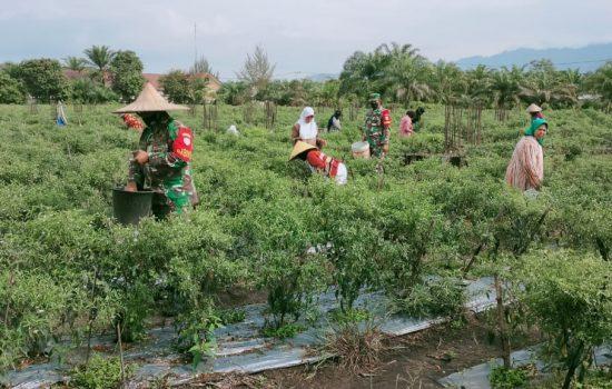 Tingkatkan Kesejahteraan Masyrakat Babinsa Bantu Petani Panen Cabe