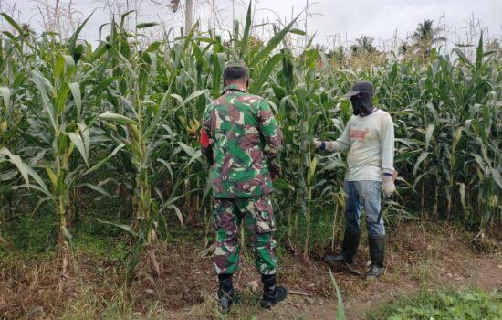 Pantau Perkembangan Kebun Jagung Petani, Babinsa Turun Kelapangan