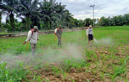 Babinsa Bersama Petani Lakukan Penyemprotan Pada Tanaman Jagung