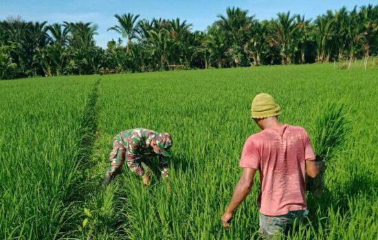 Babinsa Koramil 03/Seunagan Timur bantu Petani bersihkan Rumput Gulma Pengganggu Tanaman Padi