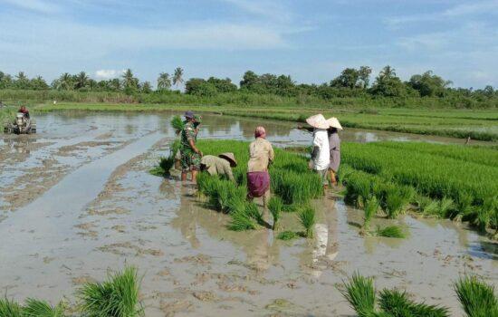 Bukti kedekatan dengan Masyarakat,Personel Satgas TMMD Ke 112 Bantu Warga Mencabut bibit padi di sawah.